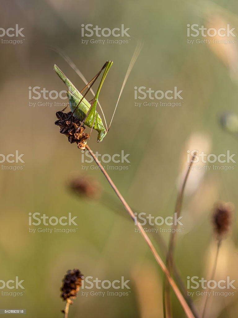 Sickle-bearing Bush Cricket (Phaneroptera falcata) in a Grass Fi stock photo