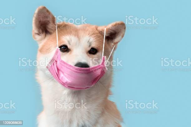 Sickness akita inu puppy in medical mask isolated on grey picture id1209088635?b=1&k=6&m=1209088635&s=612x612&h=fwhy77gqz yxnewrptrea4fyqcfce0txyoiojndltci=