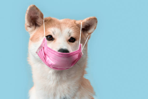 Sickness. Akita inu puppy in medical mask isolated on grey stock photo