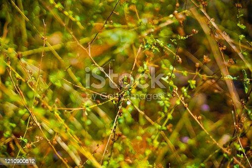istock sida rhombifolia plant in Kerala 1210900812