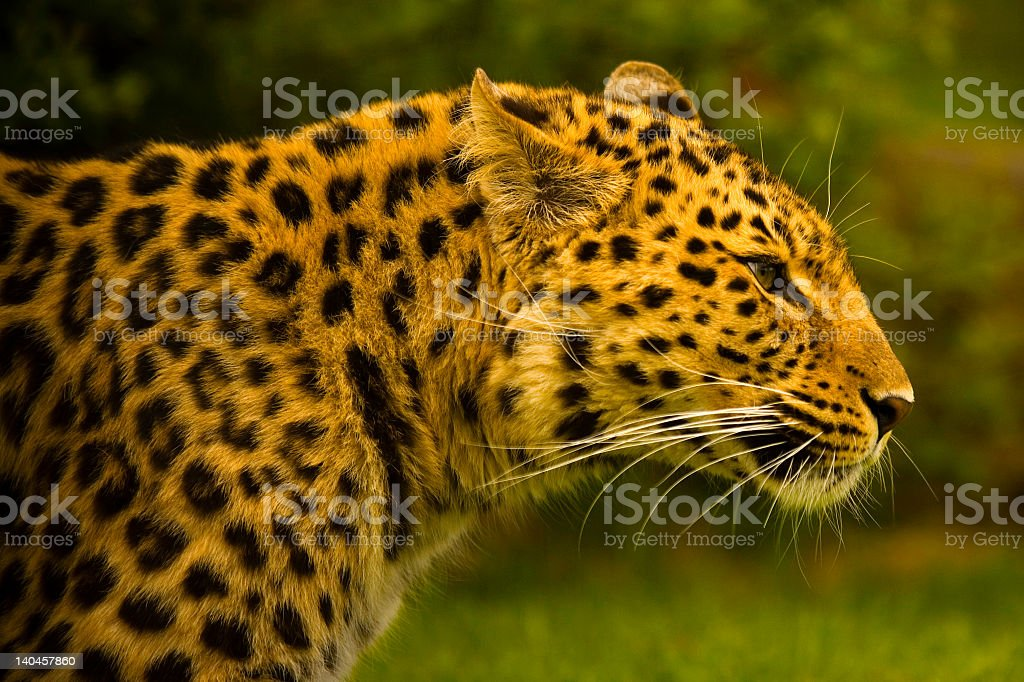 Side angle close-up of an Amur Leopard in the wilderness royalty-free stock photo