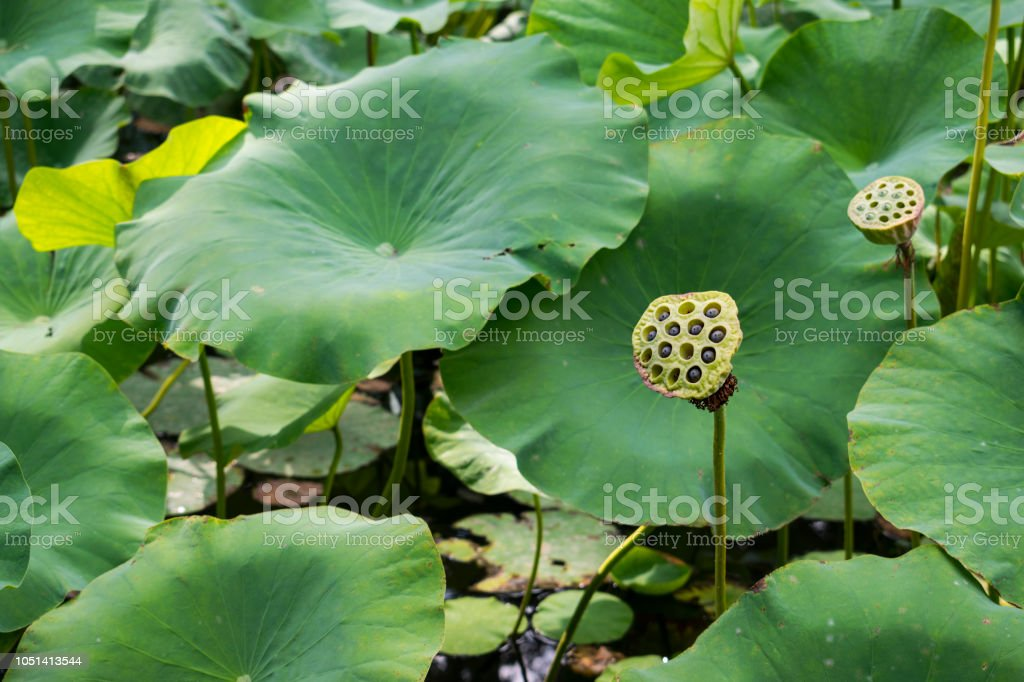 Side Angle View Of Lotus Flower Seed Pods By Floating Lily Pads In