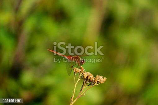 Red and blue dragonfly gazing on a dead flower