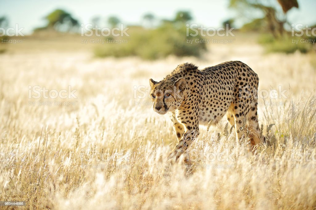 Side front view Cheetah approaching in golden grass zbiór zdjęć royalty-free