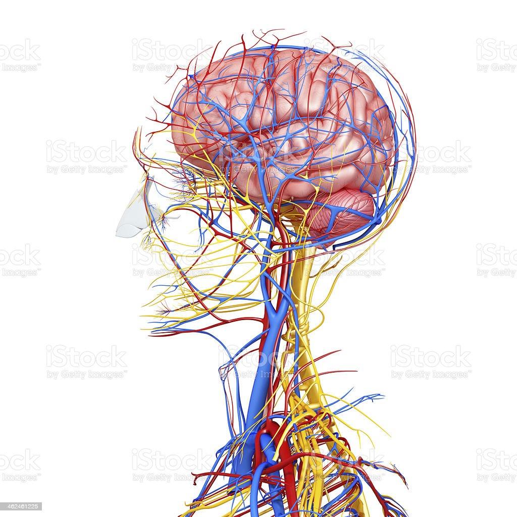 Seite Kopf Durchblutung Und Das Nervensystem Stock-Fotografie und ...