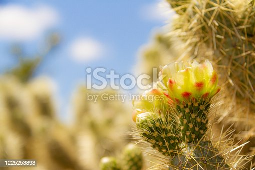 Side lite view of the flower of the cholla cactus (Cylindropuntia bigelovii) in the Sonoran Desert of Arizona.