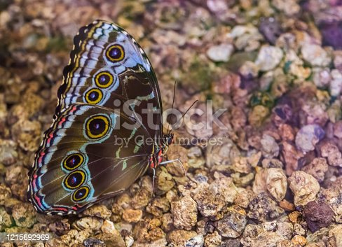 side macro closeup of a blue morpho butterfly, tropical insect specie from America