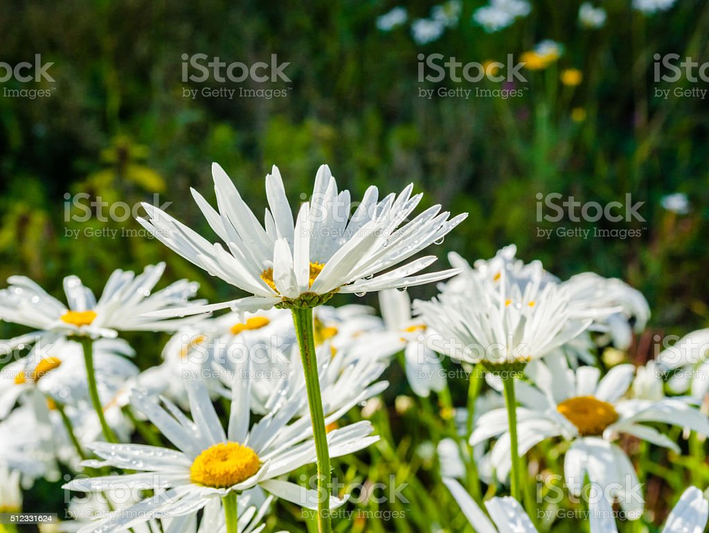 Side Of Large Daisy Flowers With Water Droplets Stock Photo More
