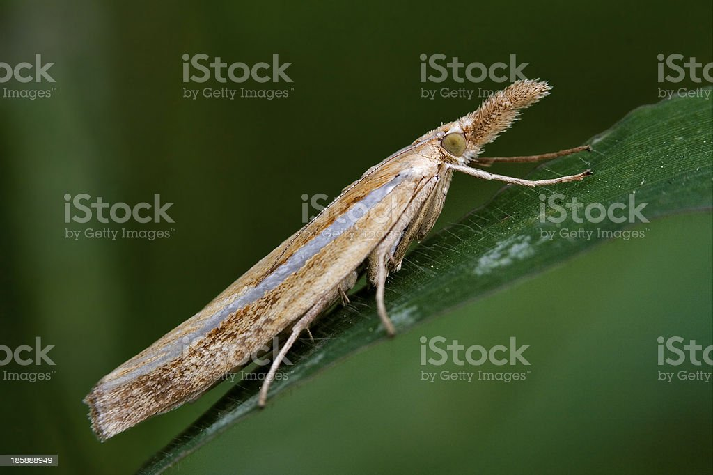 side of wild brown orange butterfly trichoptera stock photo