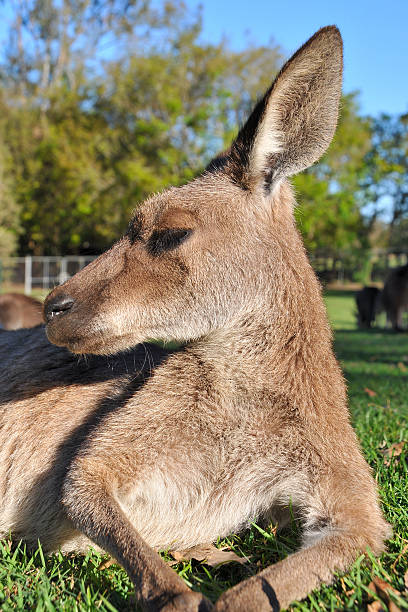 Side portrait about a resting kangaroo stock photo
