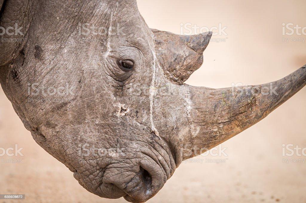 Side profile of a Black rhino. stock photo