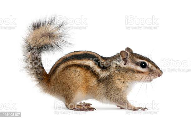 Photo of Side profile of a standing Siberian chipmunk