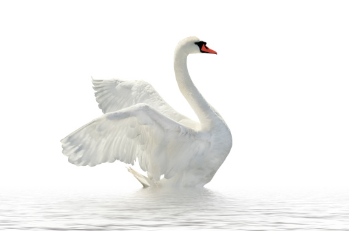 Side Profile Of A White Swan On White Waters And ...