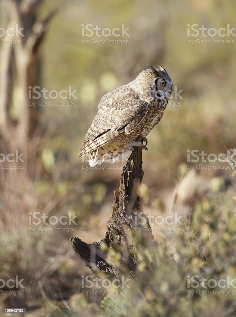 Side profile view of great horned owl. royalty-free stock photo