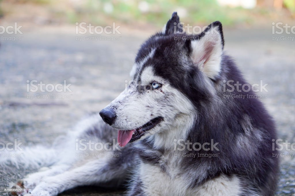 Side Shot of Siberian Husky Lay Down on the Ground on Blurred Background stock photo