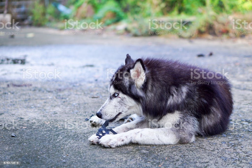 Side Shot of Siberian Husky Lay Down on The Ground with Plastic Toy in His Mouth stock photo