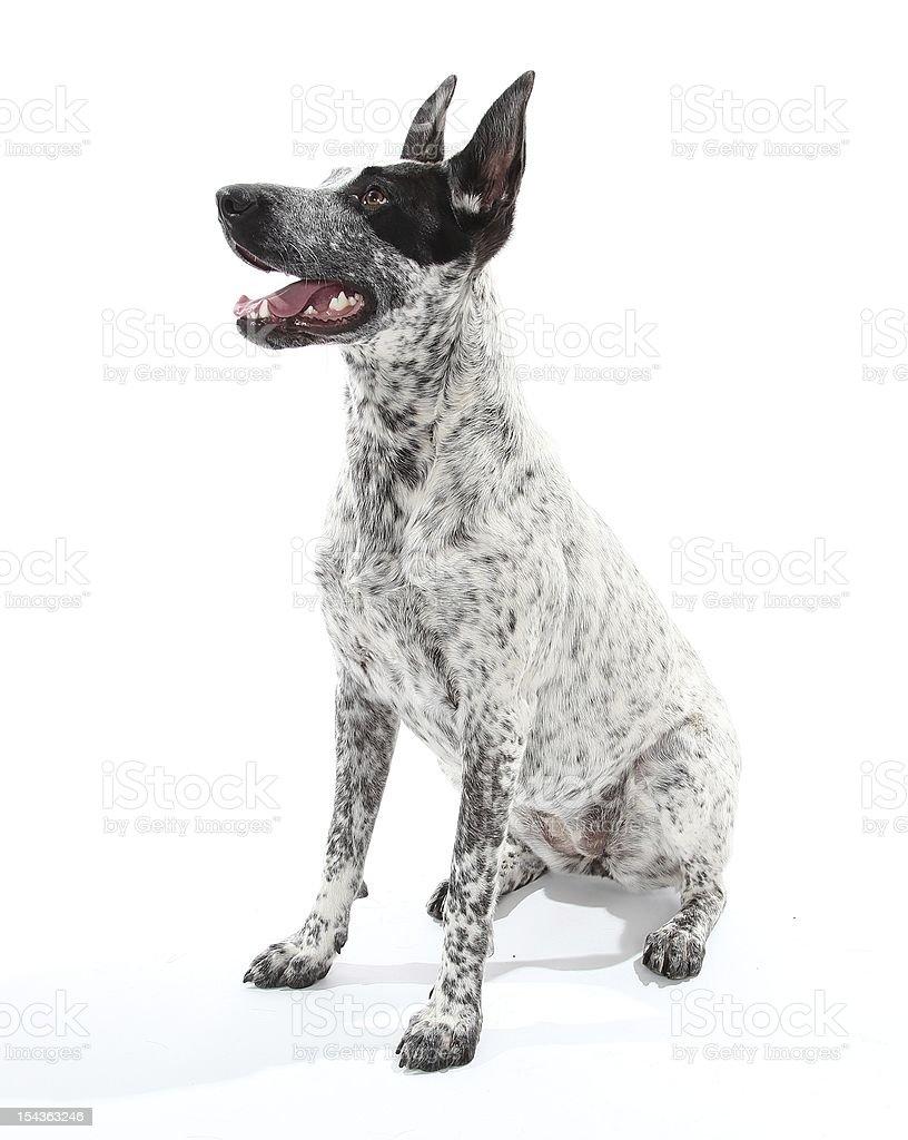 Strona siedzi Austrialian pies pasterski – zdjęcie