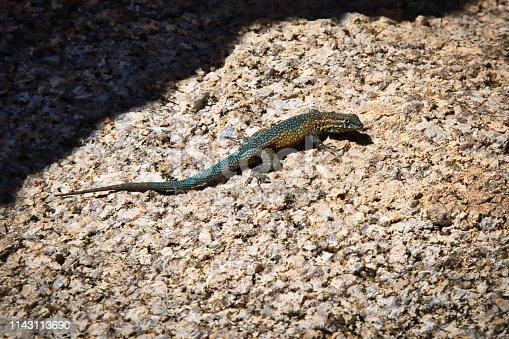 Side splotched lizard on a rock in Joshua Tree National Park