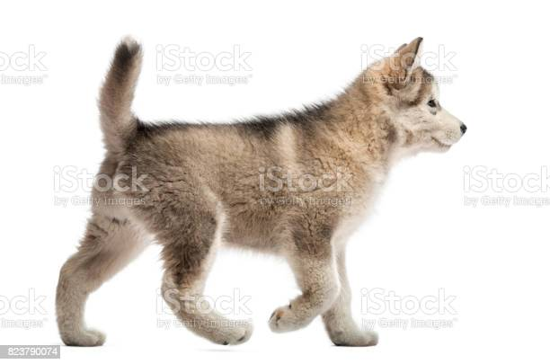 Side view alaskan malamute puppy walking isolated on white picture id823790074?b=1&k=6&m=823790074&s=612x612&h=vjgwawy8a6k3xfkjj 5auqbi44fpxk wuzdn7uqjhz8=