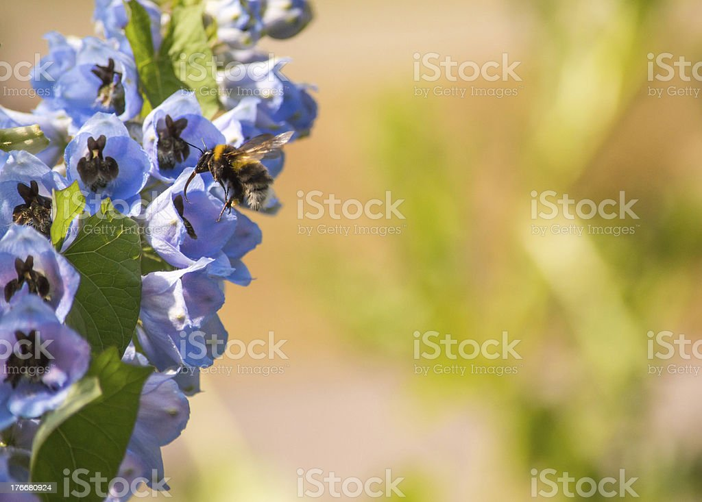 Side View Bee on a Blue Foxglove Flower royalty-free stock photo