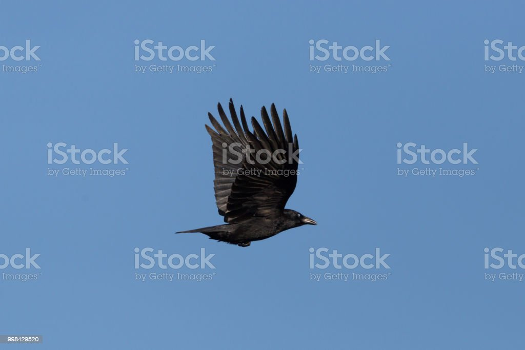 Seite Ansicht AAS Krähe (Corvus Corone) im Flug, blauer Himmel – Foto