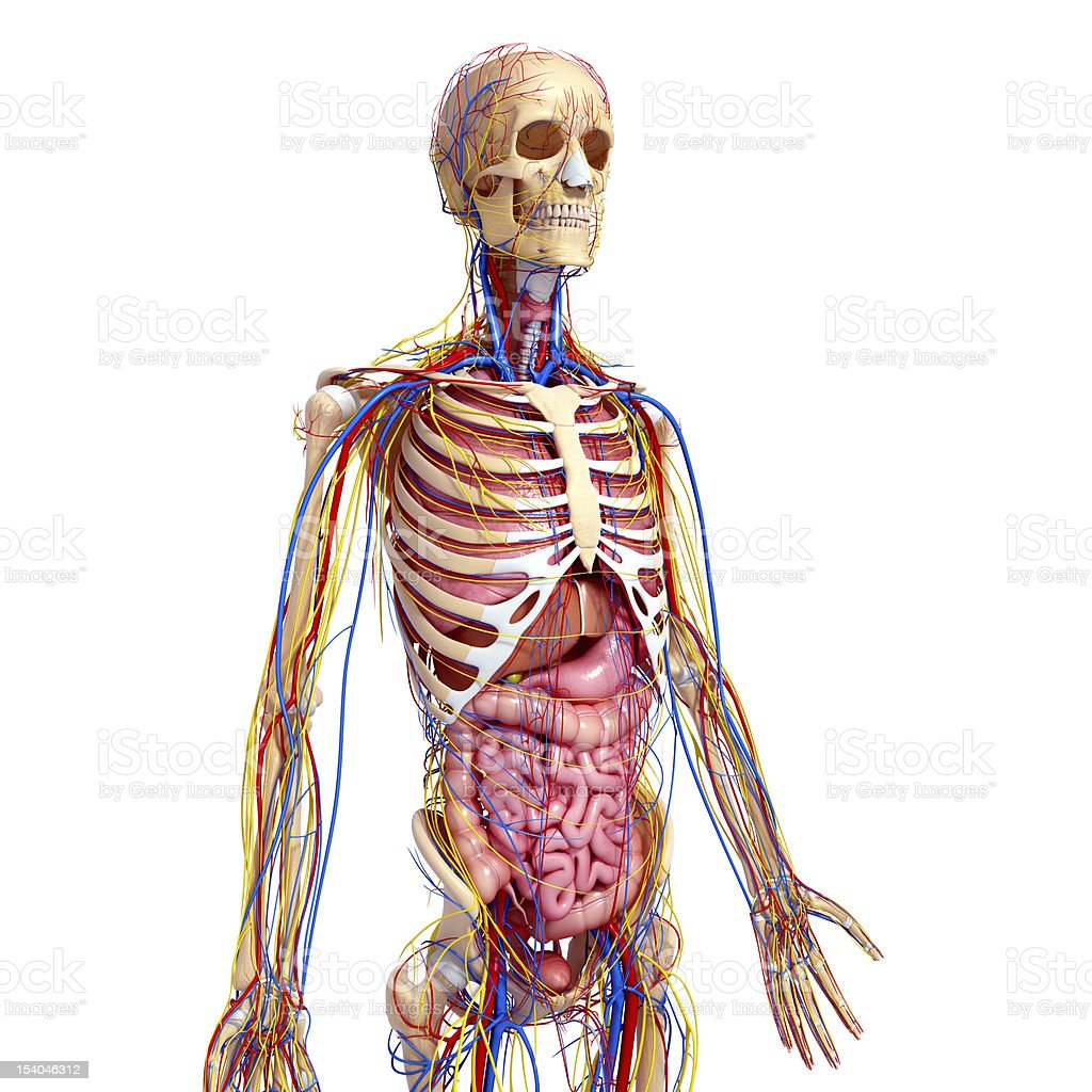 side view : circulatory and nervous system of male body stock photo