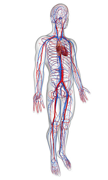 Royalty Free Circulatory System Pictures Images And Stock Photos
