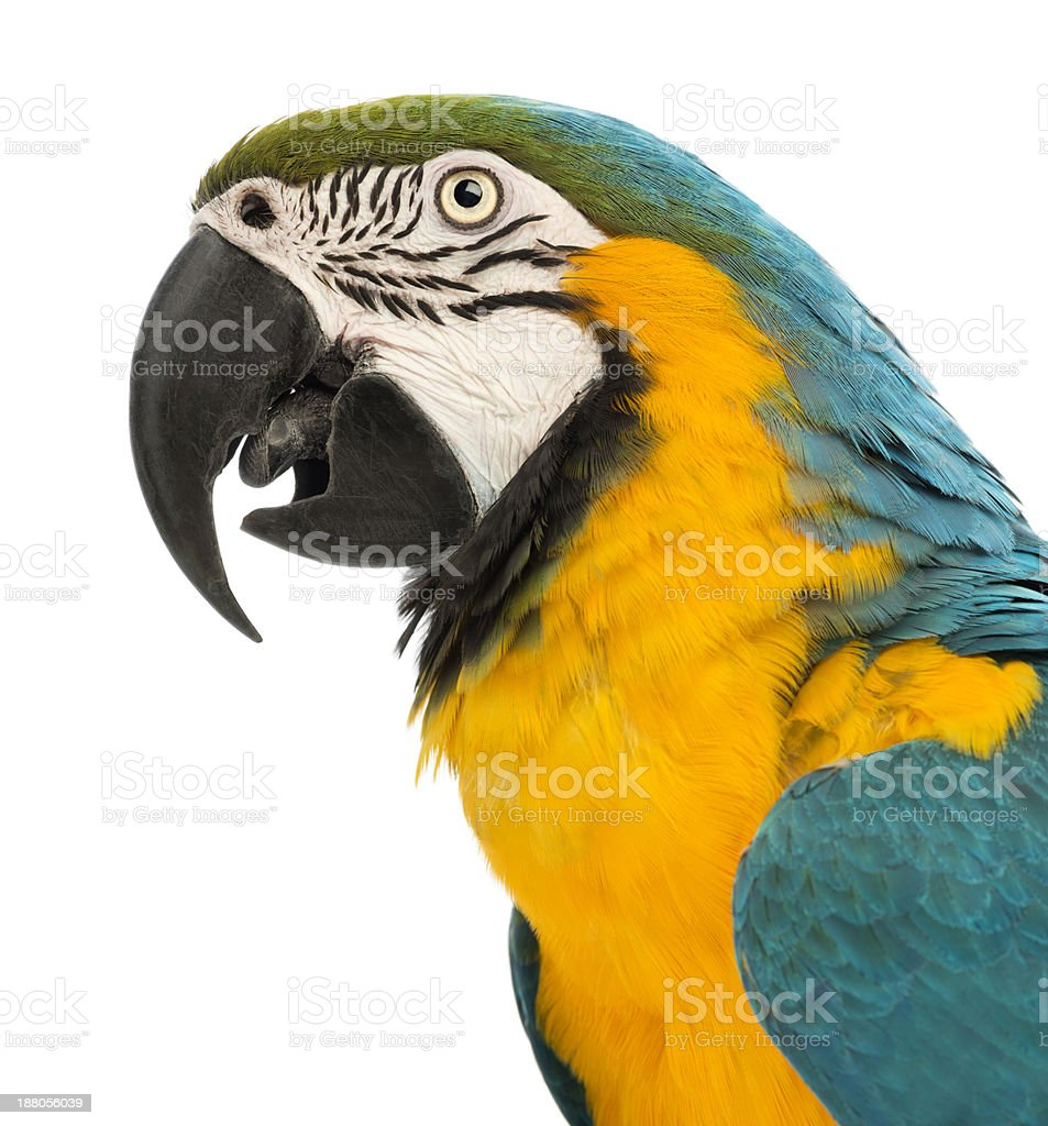 Side view close-up of a Blue-and-yellow Macaw, Ara ararauna stock photo