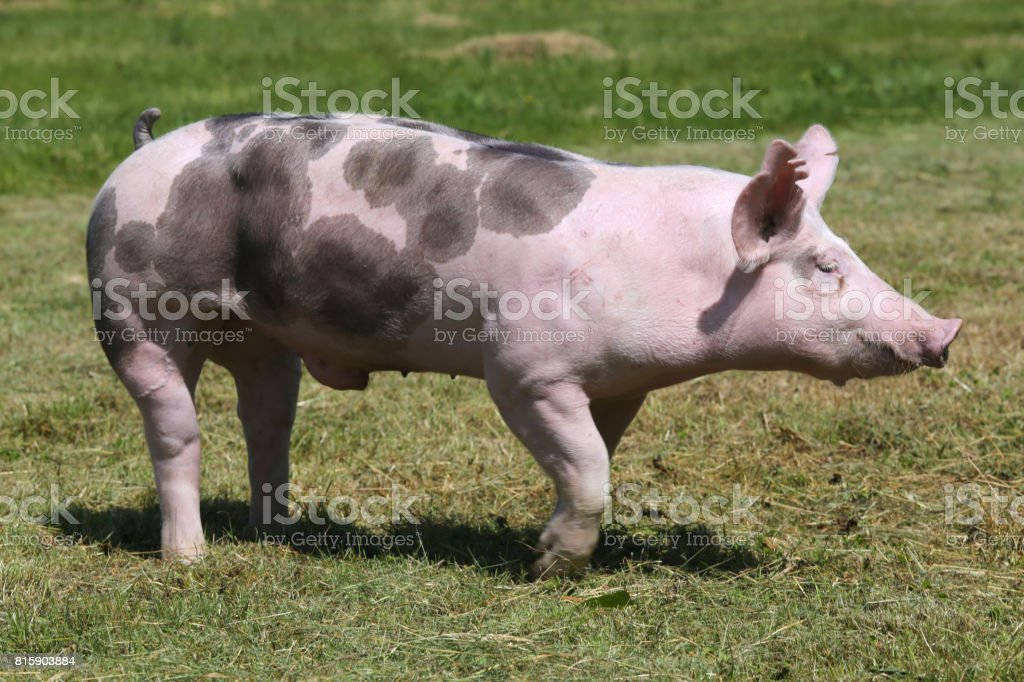 Side view closeup of a duroc breed pig on animal farm stock photo