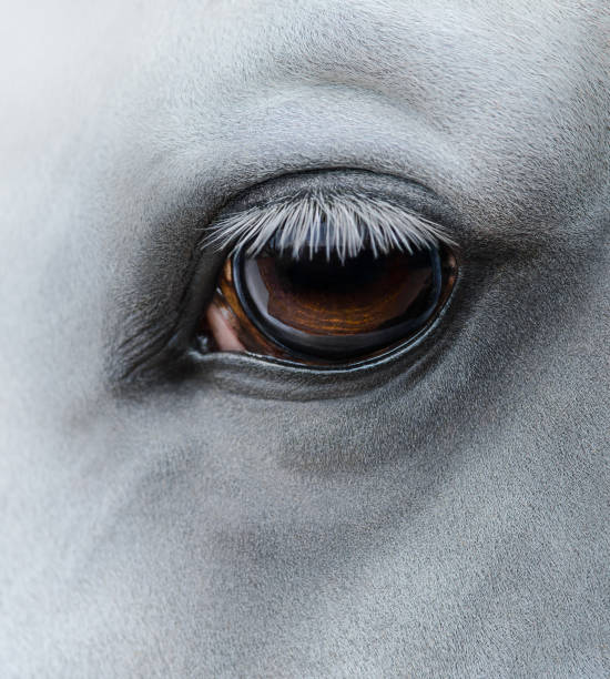 Side view closeup of eye of light gray horse stock photo