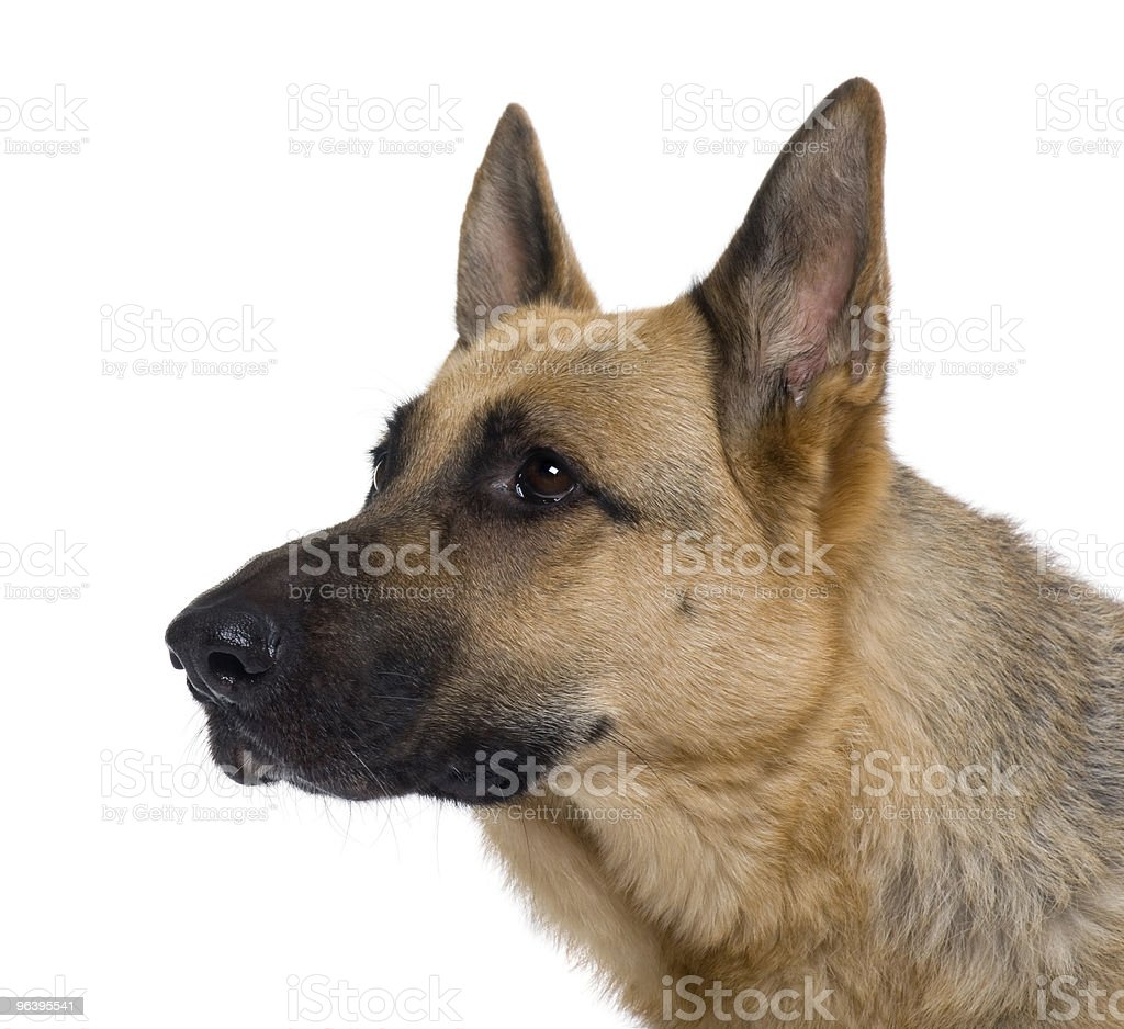 Side view Close-up of German Shepherd against white background - Royalty-free Alertness Stock Photo