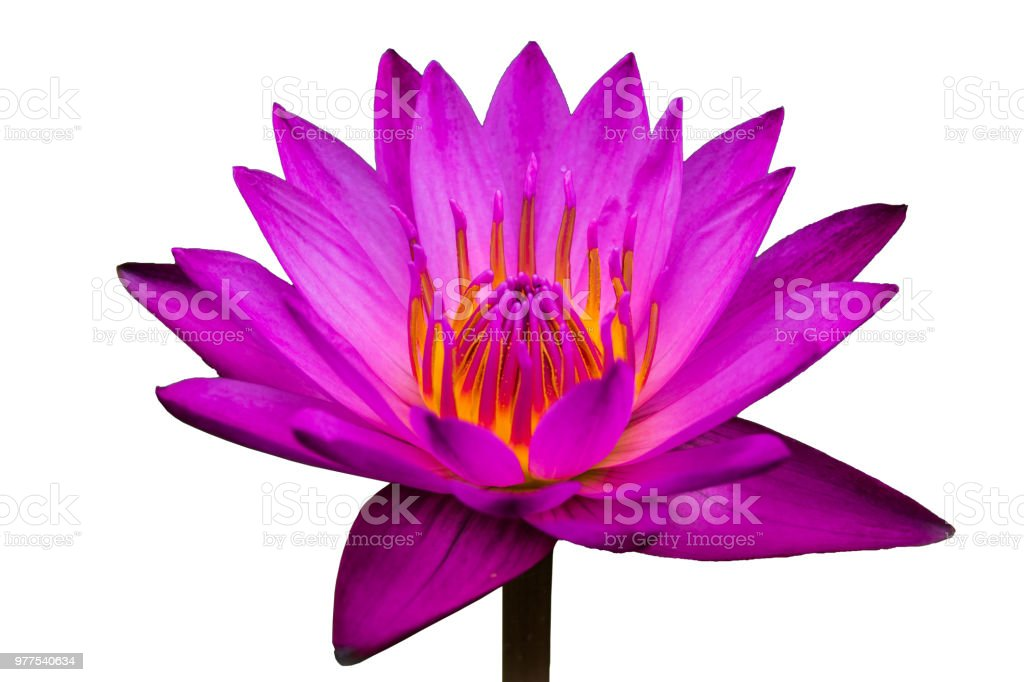 Side view, Closeup pink lotus flowers bloom in the water on white background stock photo