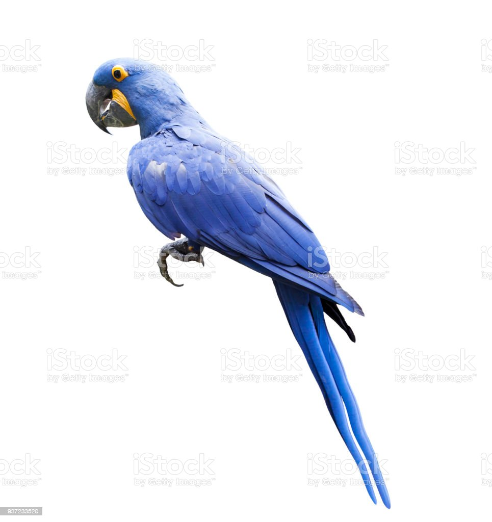 side view full body of hyacin macaw bird isolated white background royalty-free stock photo