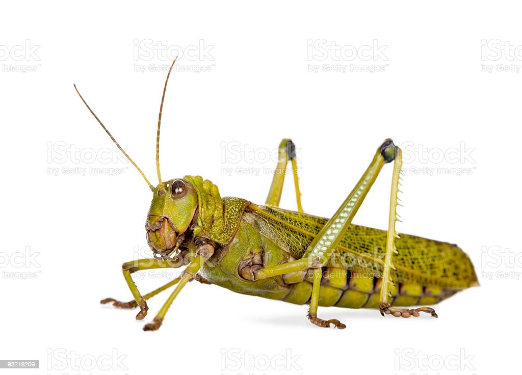 Side view Giant guianas locust, against white background, studio shot royalty-free stock photo