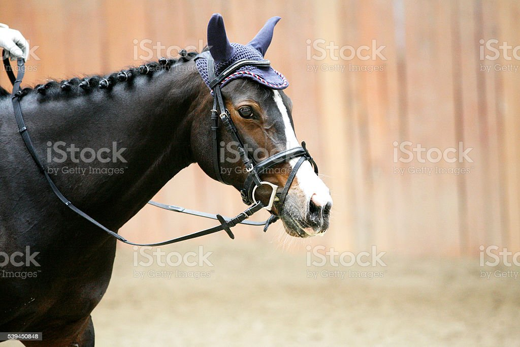 Side view head shot of a young dressage horse stock photo