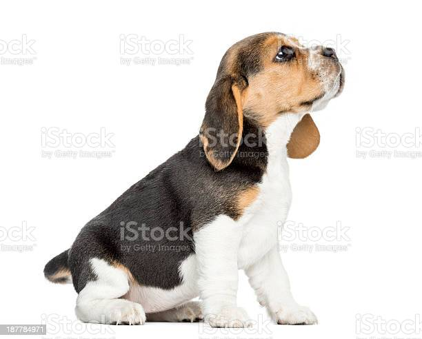 Side view of a beagle puppy sitting looking up isolated picture id187784971?b=1&k=6&m=187784971&s=612x612&h=ppiiwbkarodihgbjfybe8c5xujvvj7nfifk4olguk34=