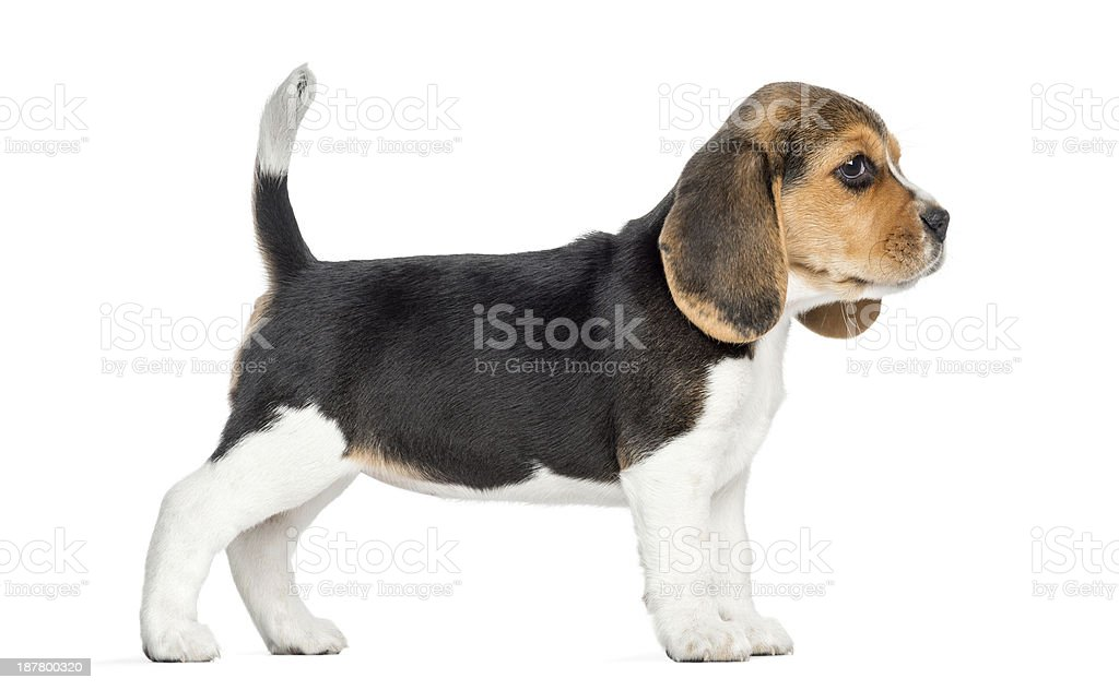 Side view of a Beagle puppy standing, isolated on white stock photo