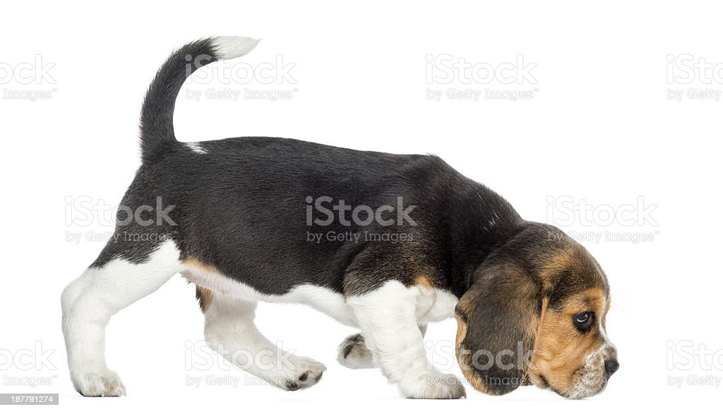 Side view of a Beagle puppy walking, sniffing the floor stock photo
