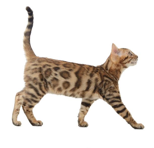 side view of a bengal cat walking - hayvan vücudu bölümleri stok fotoğraflar ve resimler
