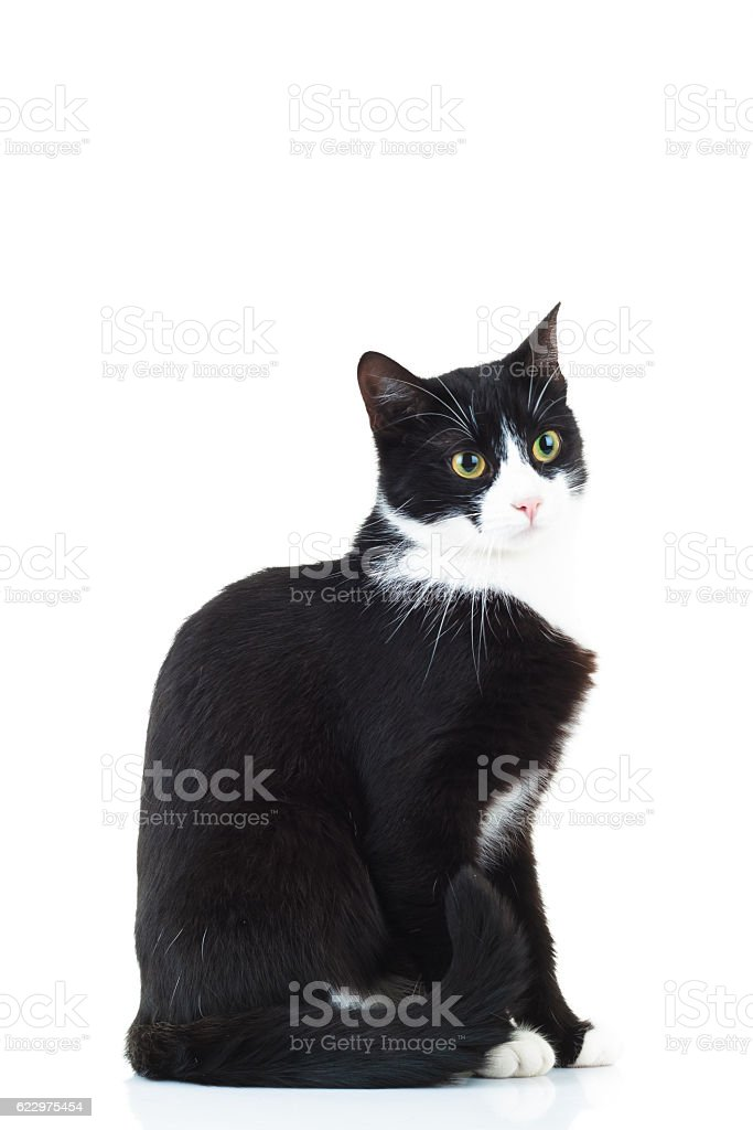 side view of a black and white cat sitting stock photo