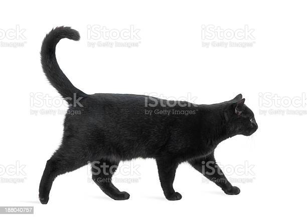 Side view of a black cat walking isolated on white picture id188040757?b=1&k=6&m=188040757&s=612x612&h=bopmcdvcwr201ah ddtsinplubrxgwzjzvzxbyg7emk=