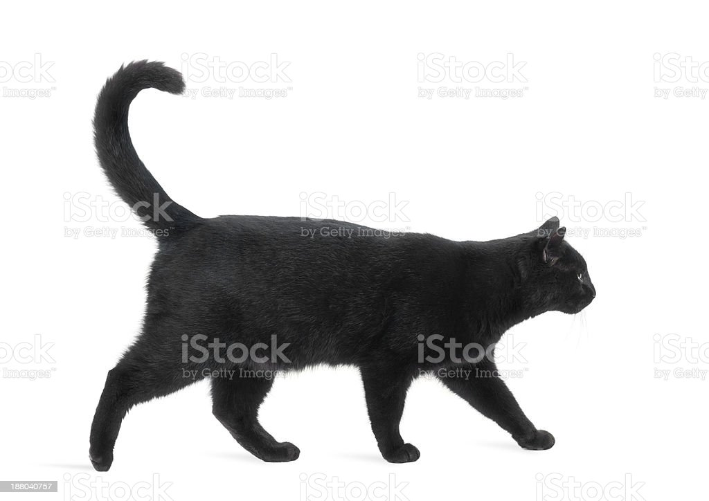 Side view of a Black Cat walking, isolated on white stock photo