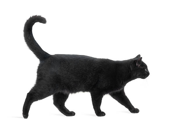 Side view of a Black Cat walking, isolated on white Side view of a Black Cat walking, isolated on white black cat stock pictures, royalty-free photos & images