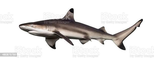 Seitenansicht Eines Schwarzspitzenriffhai Carcharhinus Melanopterus Stockfoto und mehr Bilder von Aquatisches Lebewesen