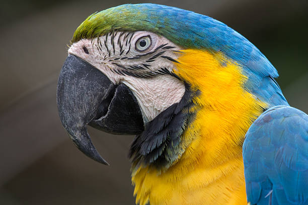 Seite Ansicht eines Gelb und blau Ara Kopf – Foto
