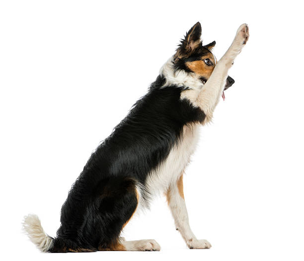 Side view of a border collie pawing up obeying picture id480875893?b=1&k=6&m=480875893&s=612x612&w=0&h=zsulytnwhljc454ugrdmihqh3xktpn3v4x5cbmkhnjq=