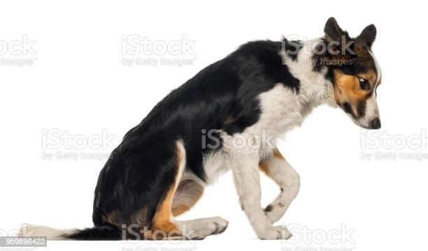 Side view of a border collie sitting looking down isolated on white picture id959896422?b=1&k=6&m=959896422&s=612x612&h=1rtecherek9gjepdzwxr5 pd kuqiws11u2twzba80k=