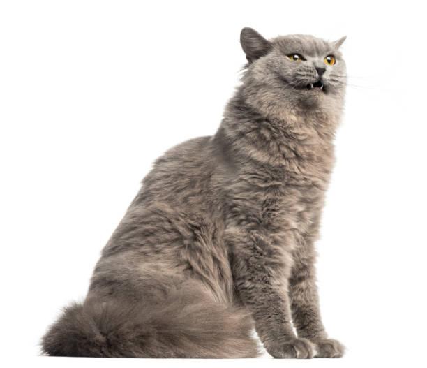 Vue latérale d'un British Longhair assis, regardant agressif, isolé sur blanc - Photo