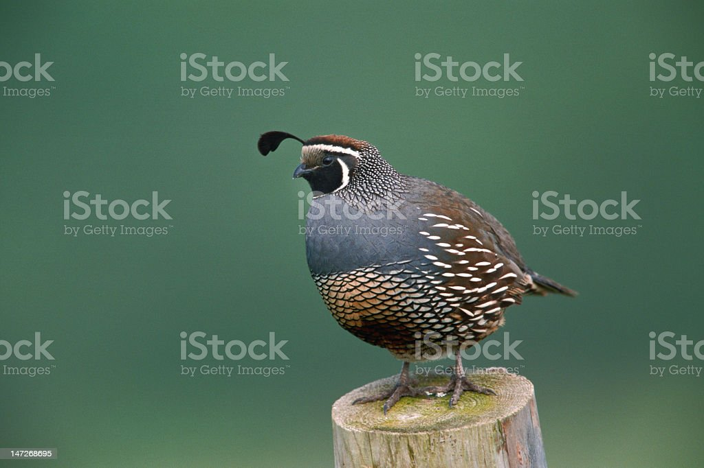 Side view of a California quail standing on a tree stump stock photo