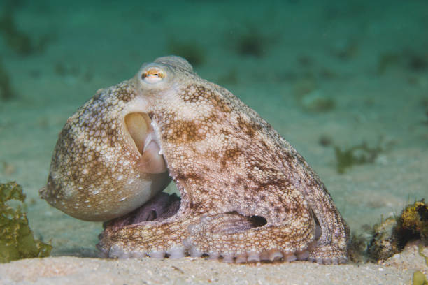 Side view of a Common Octopus (Octopus vulgaris) stock photo